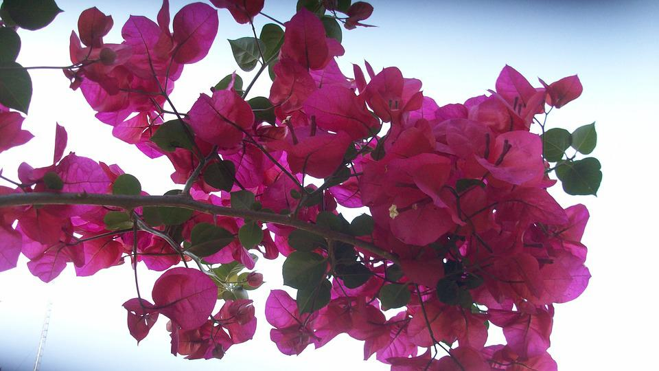 Pink, Blossom, Bloom, Nature, Plant, Flowers, Flora