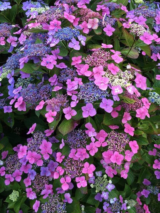 Hydrangea, Flower, Blossom, Pink, Blue, Purple, Shrub