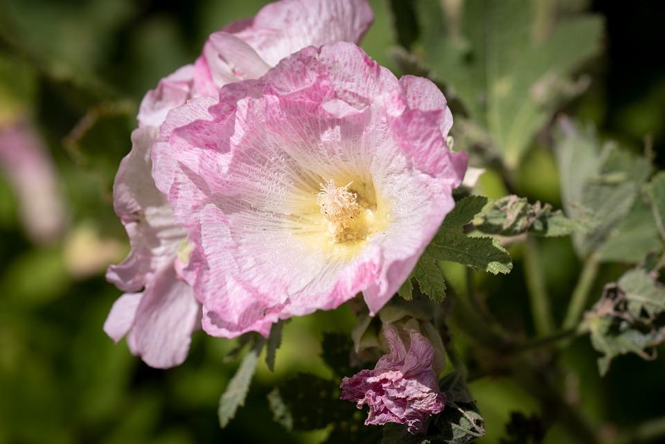 Stock Rose, Pink, Flower, Blossom, Bloom, Garden