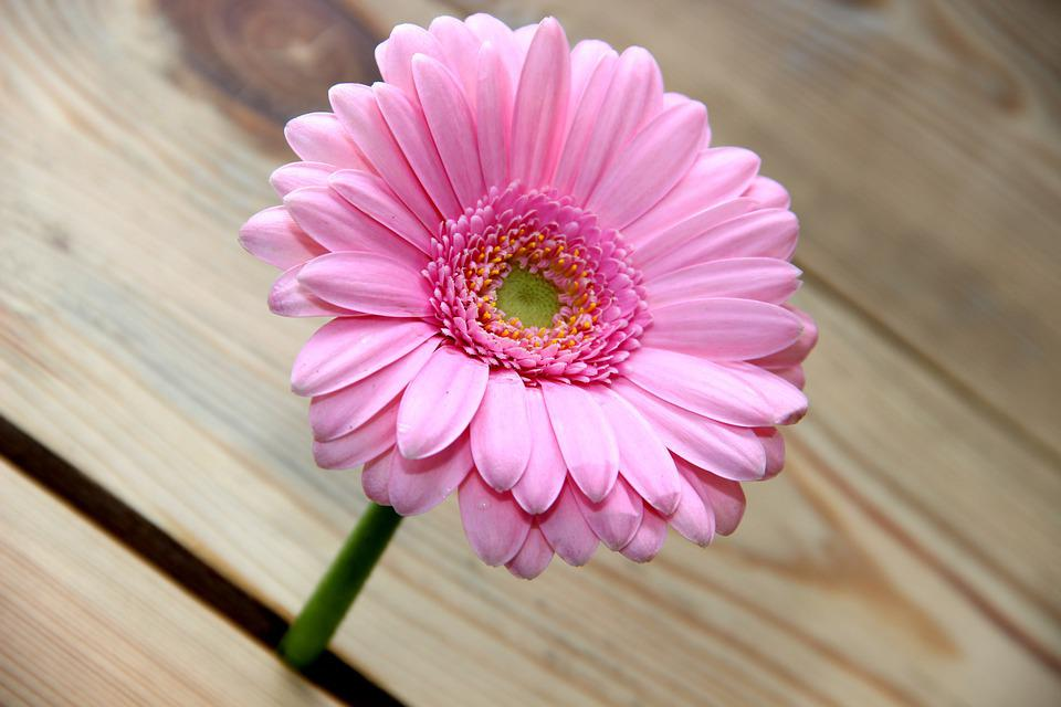 Flower, Gerbera, Wood, Nature, Blossom, Bloom, Pink