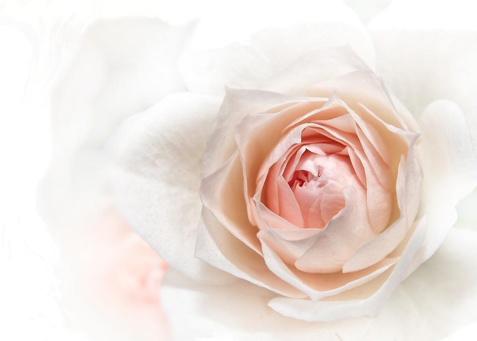 Rose, Pink, Close, Blossom, Bloom, Flower, Flora