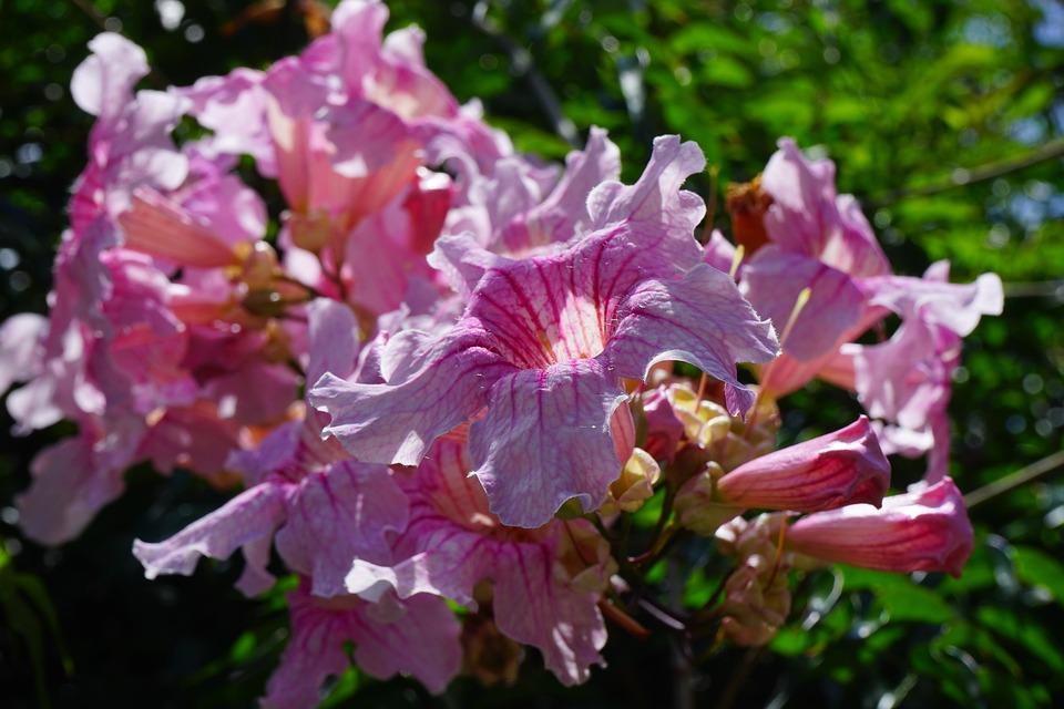 Pink Trumpet Vine, Flower, Blossom, Bloom, Pink, Bush