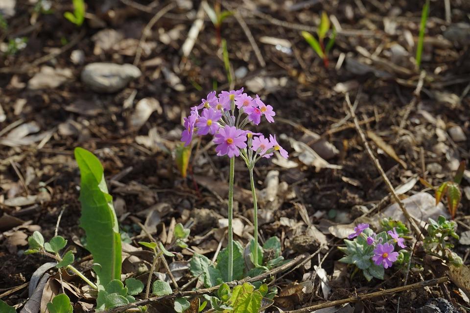 Foliage Rich Primrose, Blossom, Bloom, Plant, Pink