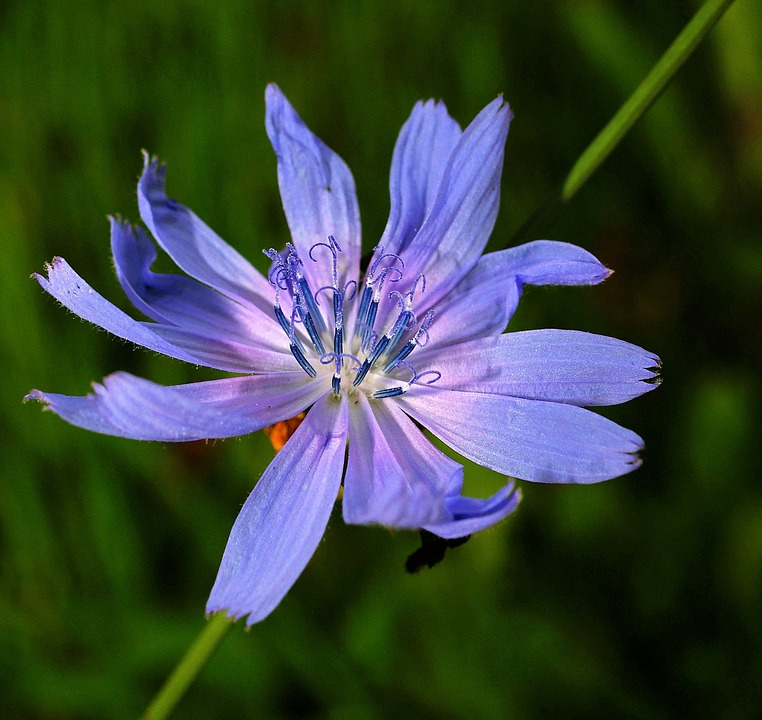 Chicory, Flower, Blossom, Bloom, Plant, Nature, Close
