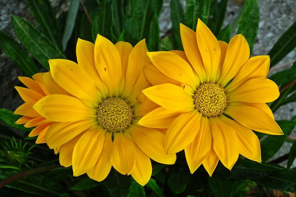 Flowers, Yellow Flowers, Petals, Plant, Bloom, Blossom