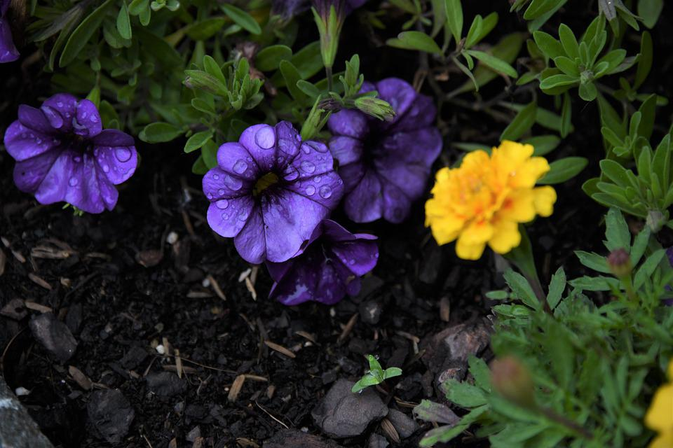 Petunias, Flowers, Blossom, Plant, Yellow, Garden