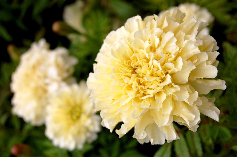 Marigold, Flower, Plant, Yellow, Blossom, Gardening
