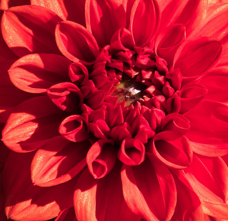 Dahlia, Blossom, Bloom, Plant, Flower, Ornamental Plant