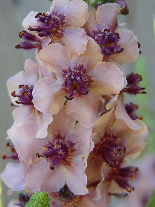 Flower, Pink, Verbascum, Blossom, Spring, Plant, Nature