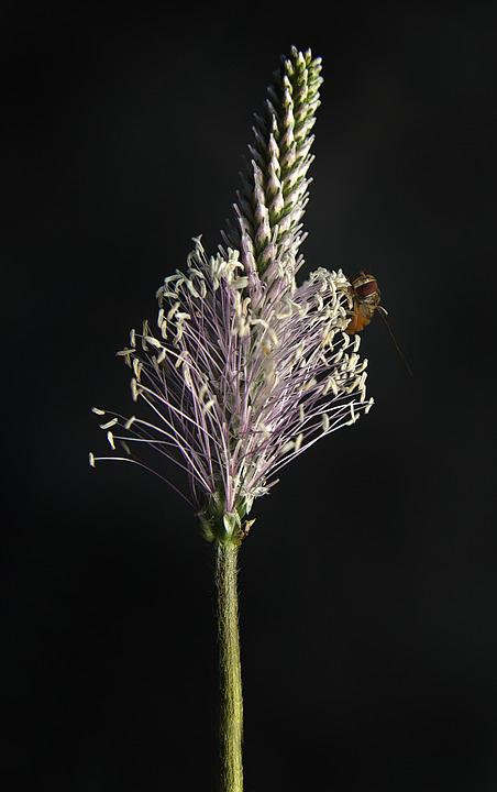 Blossom, Bloom, Inflorescence, Plantain