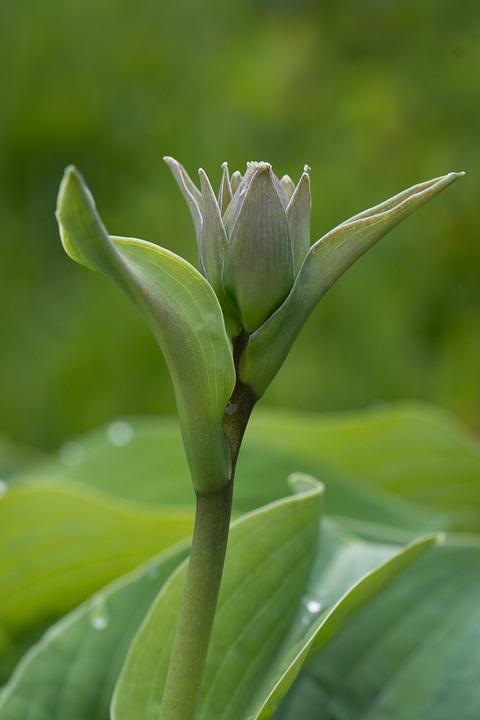Plantain Lily, Blossom, Bloom, Closed Flower, Hosta