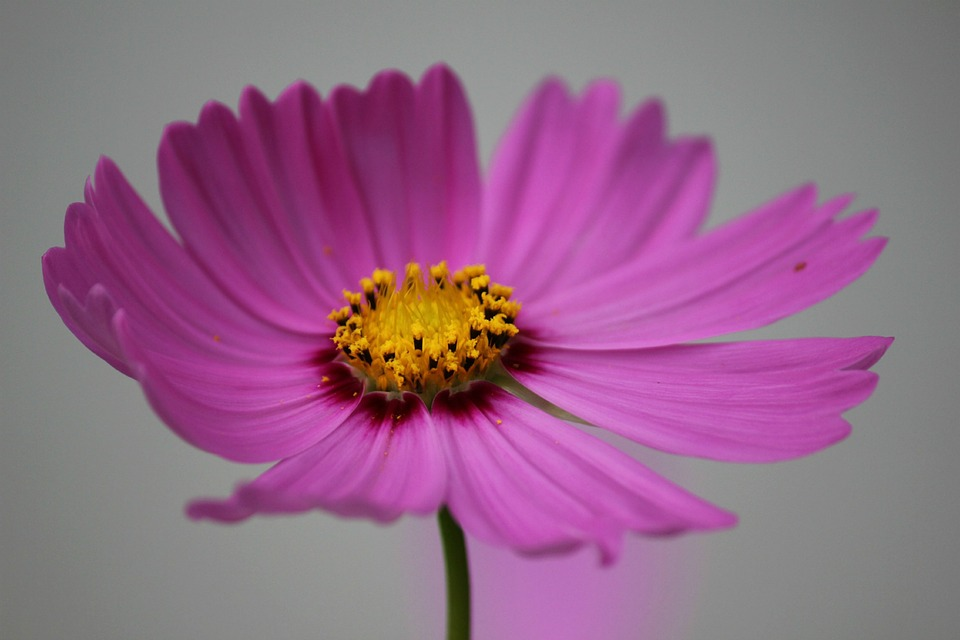 Cosmos Flower, Cosmos, Flower, Blossom, Pollen, Yellow
