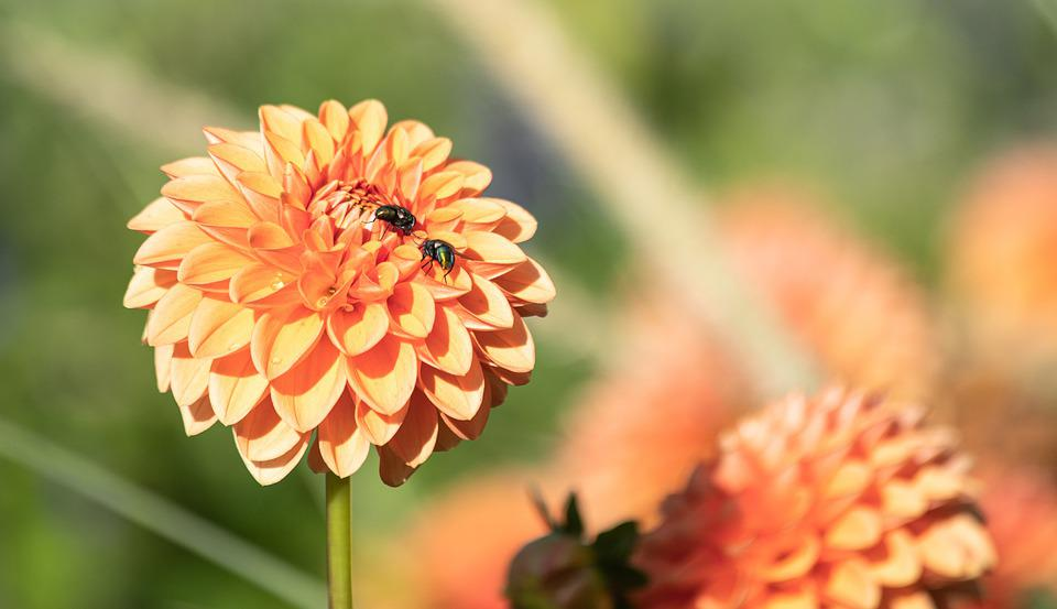 Dahlia, Bees, Pollinate, Pollination, Bloom, Blossom