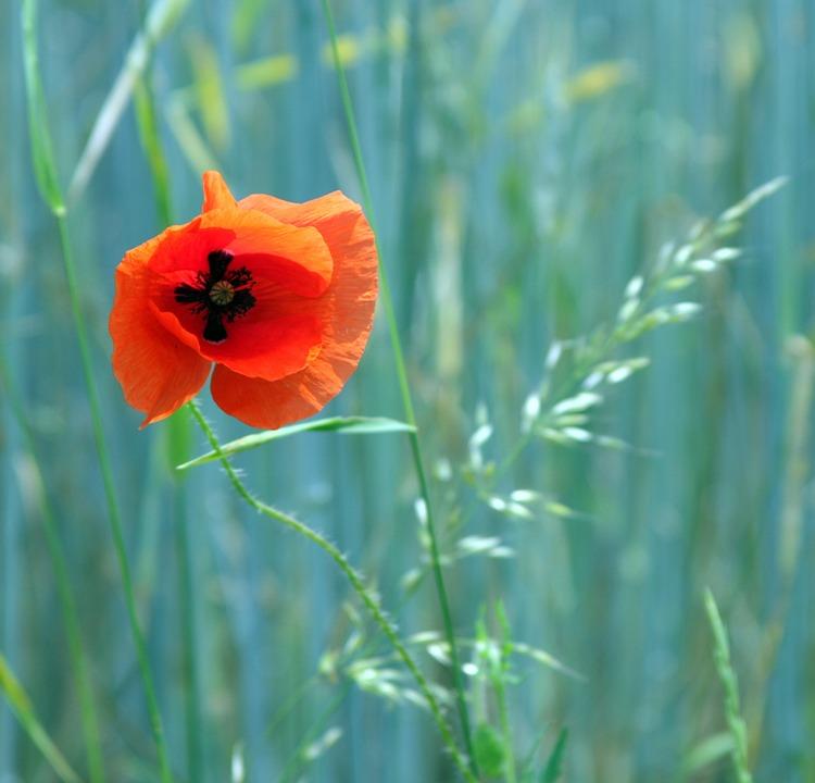 Poppy, Contrast, Flower, Blossom, Bloom, Red, Summer