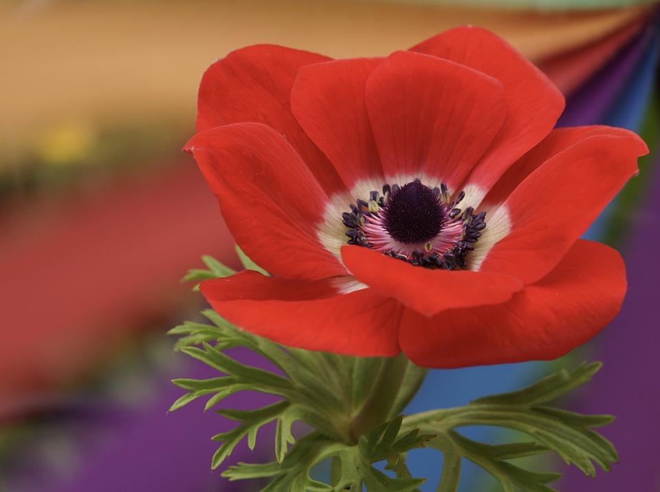 Poppy, Red, Blossom, Bloom, Poppy Flower, Flower, Plant