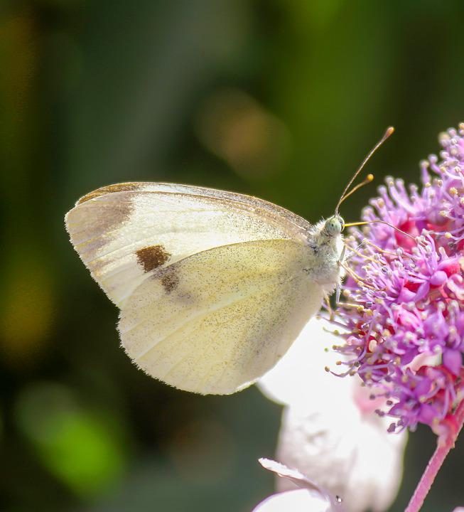 Butterfly, Blossom, Bloom, Close Up, White, Purple