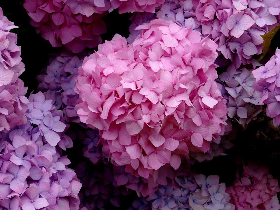 Blossom, Bloom, Hydrangea, Close, Blue, Pink, Purple
