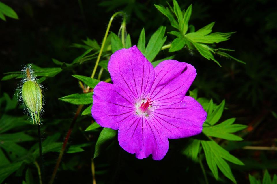Cranesbill, Blossom, Bloom, Flower Garden, Purple
