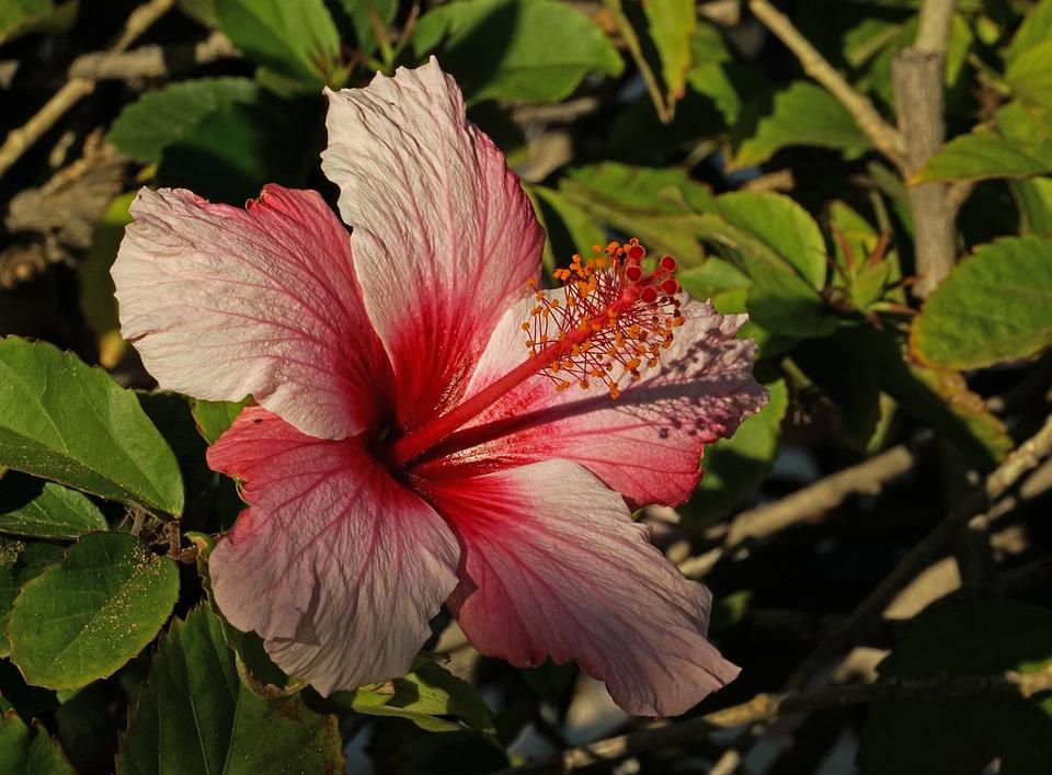 Hibiscus, Purple, Pink, Close, Flower, Blossom, Bloom