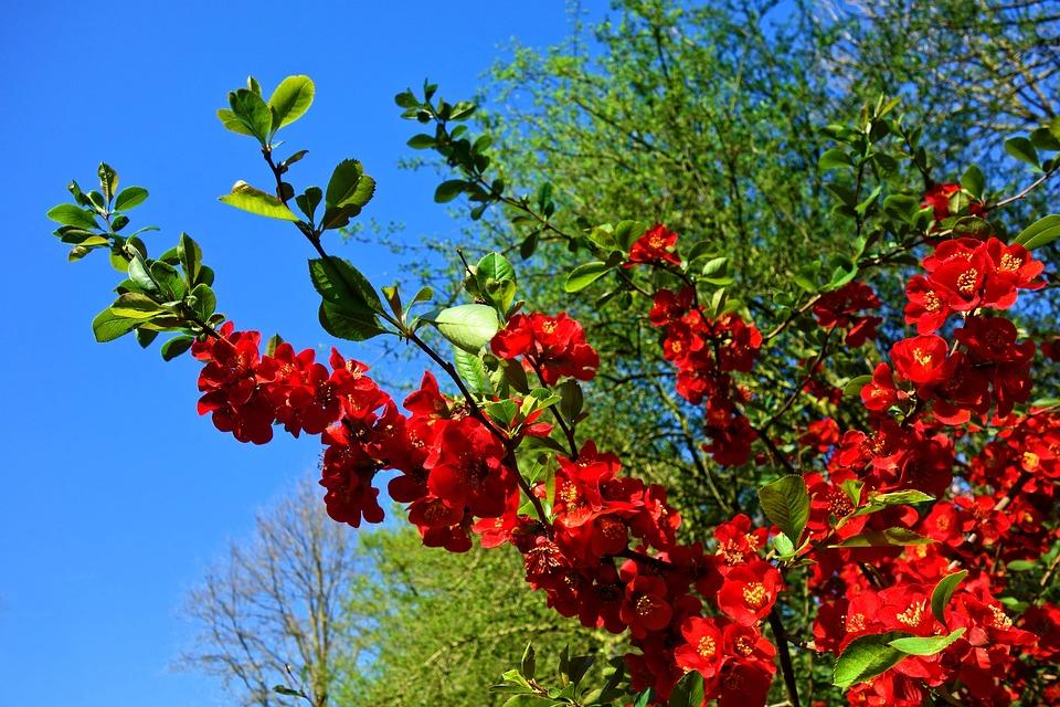 Flowering Quince, Quince, Blossom, Shrub