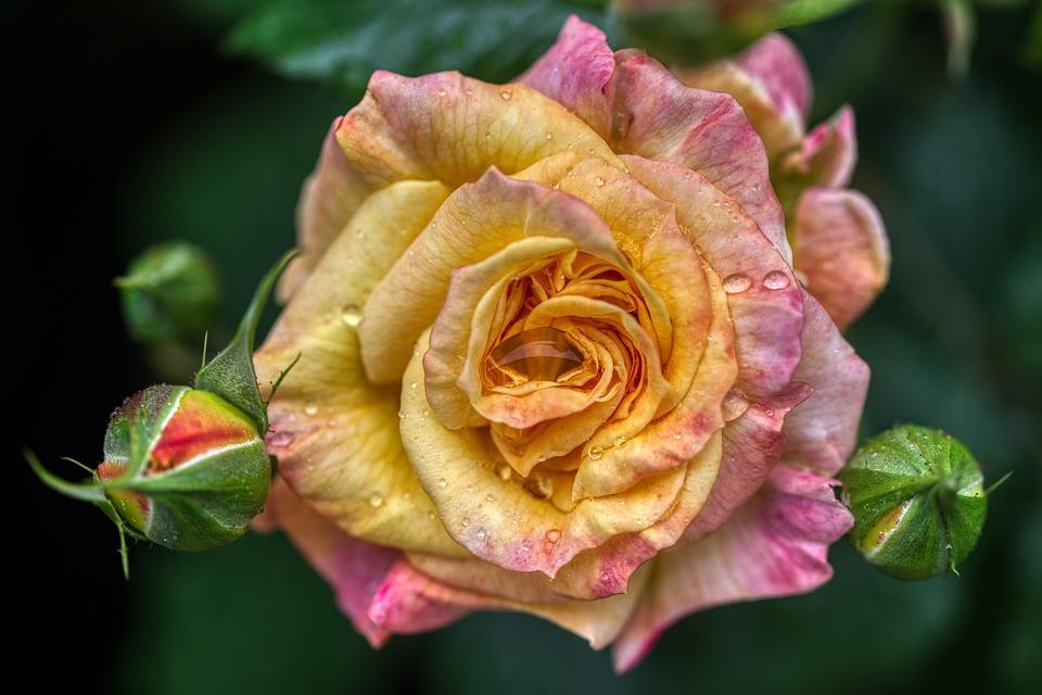 Flower, Rose, Rain, Dew, Drops, Buds, Blossom, Bloom