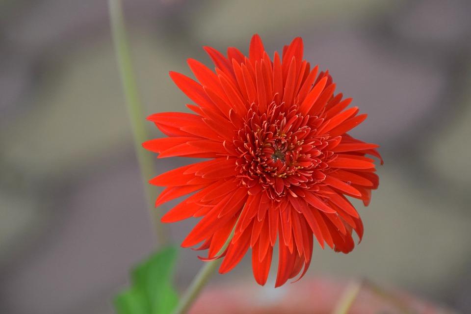 Flower, Red, Petals, Bloom, Blossom, Flora, Red Flower