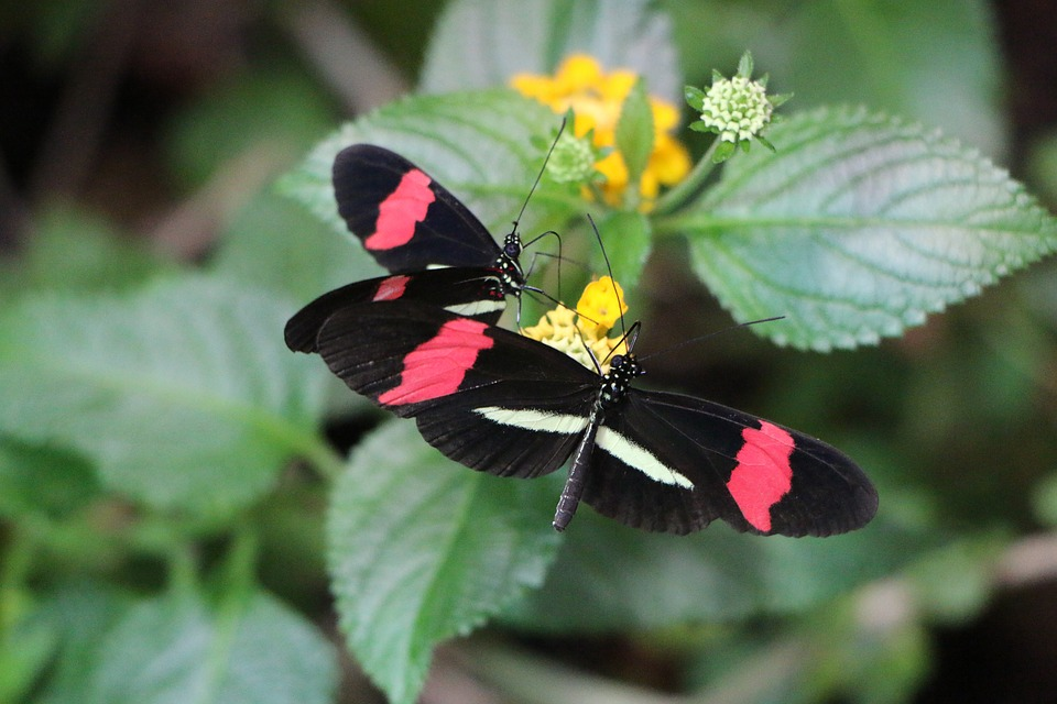 Small Postbote, Butterfly, Black, Red, Blossom, Bloom