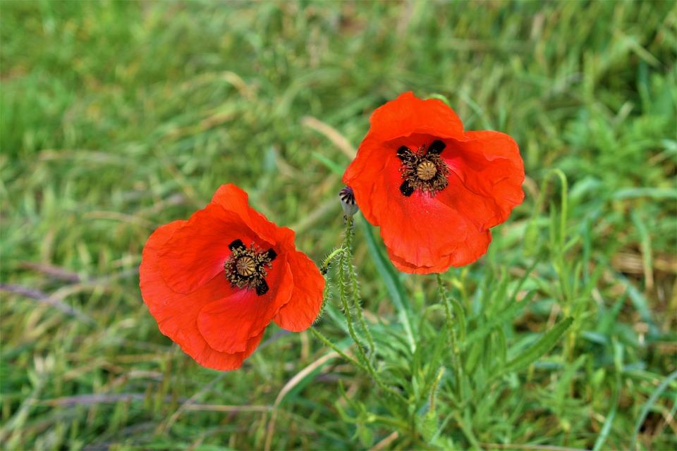 Flower, Blossom, Nature, Red