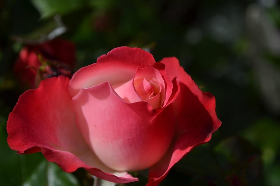 Rose, Blossom, Bloom, Flower, Red Rose, Incomplete