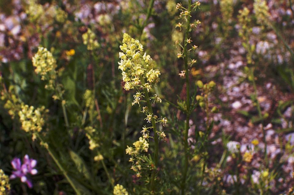 Wau, Mignonette, Reseda Lutea, Blossom, Bloom, Flower