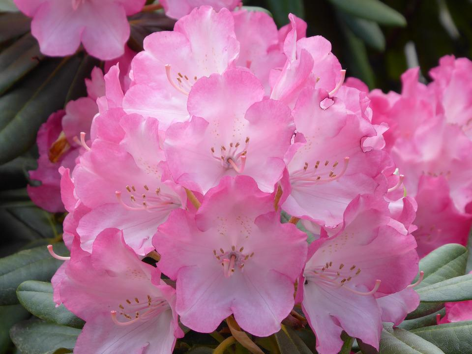Rhododendron, Blossom, Bloom, Bush