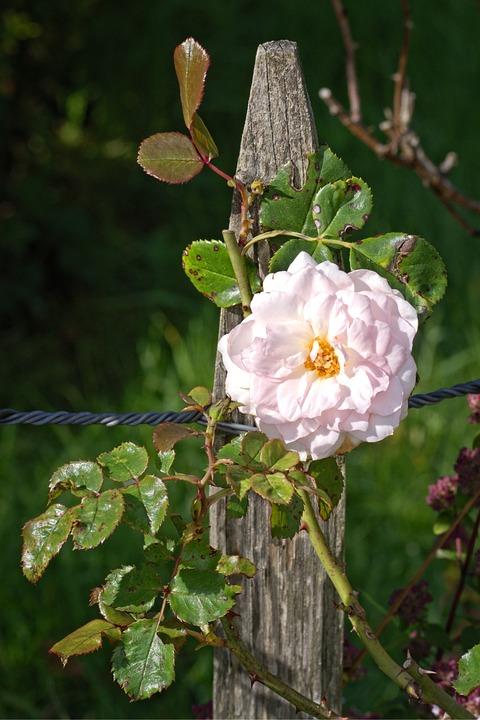 Rose Bloom, Rose, Fence Post, Blossom, Bloom, Fence