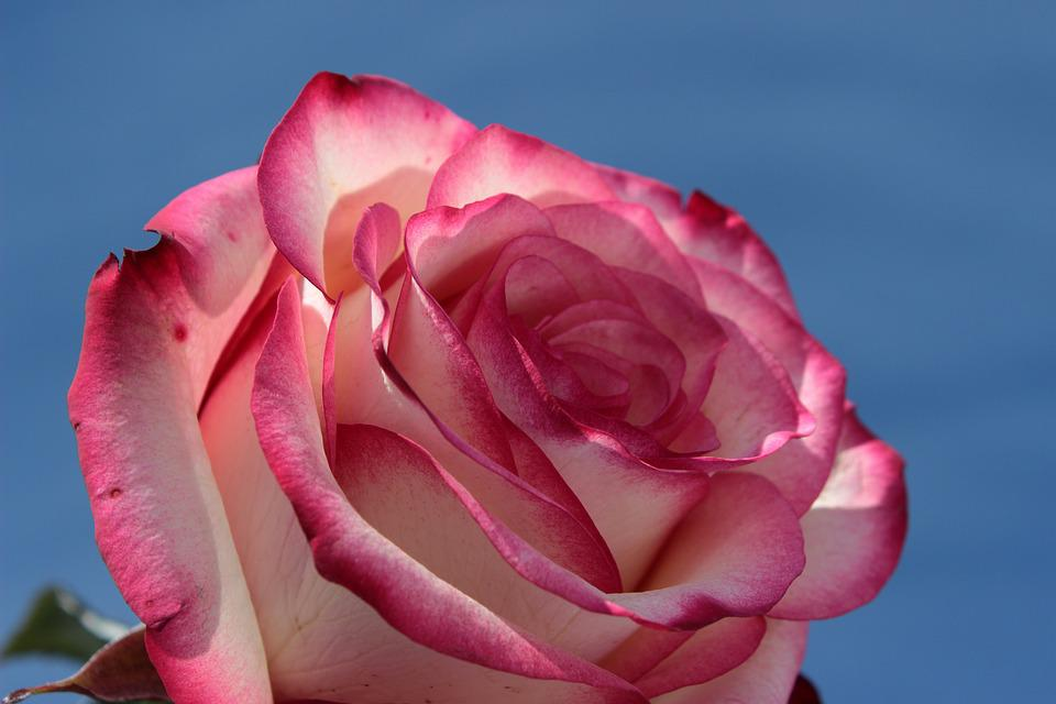 Rose, Pink And White, Blossom, Bloom, Flower
