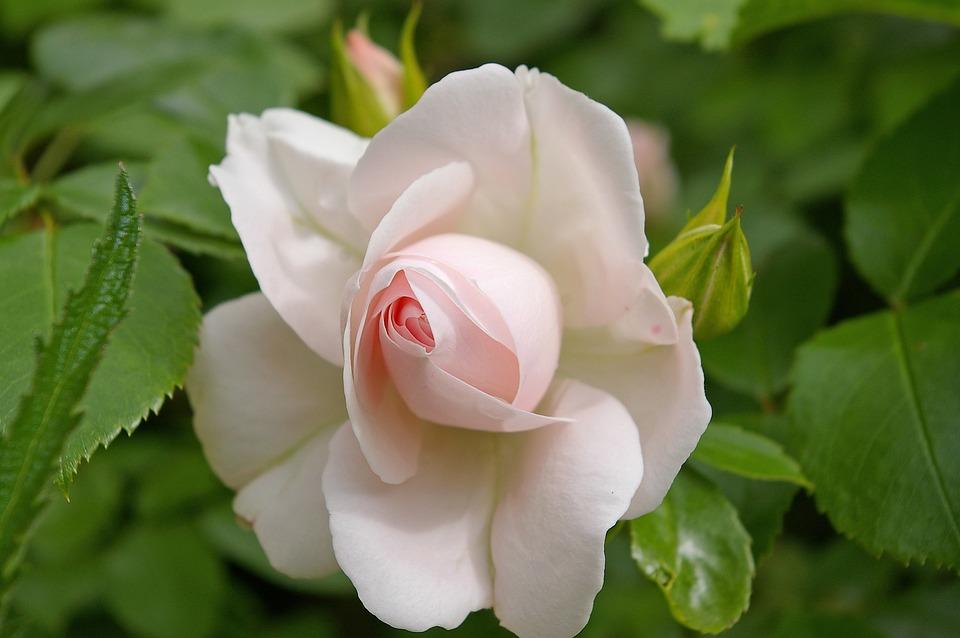 Rose, Asperin Rose, Tender, Soft Pink, White, Blossom