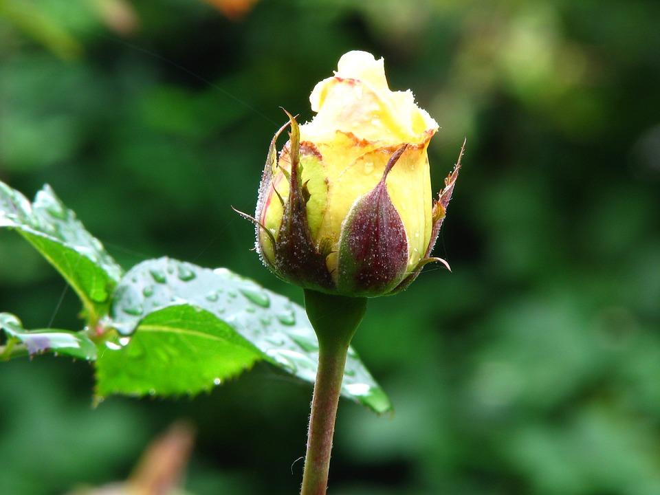 Rose, Yellow, Blossom, Bloom, Flower