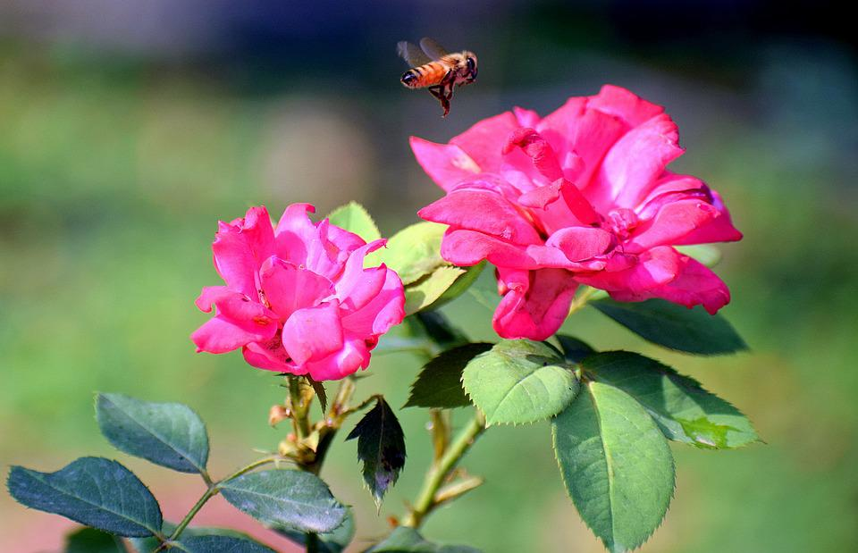 Rose, Flowers, Insect, Nature, Bloom, Blossom, Roses