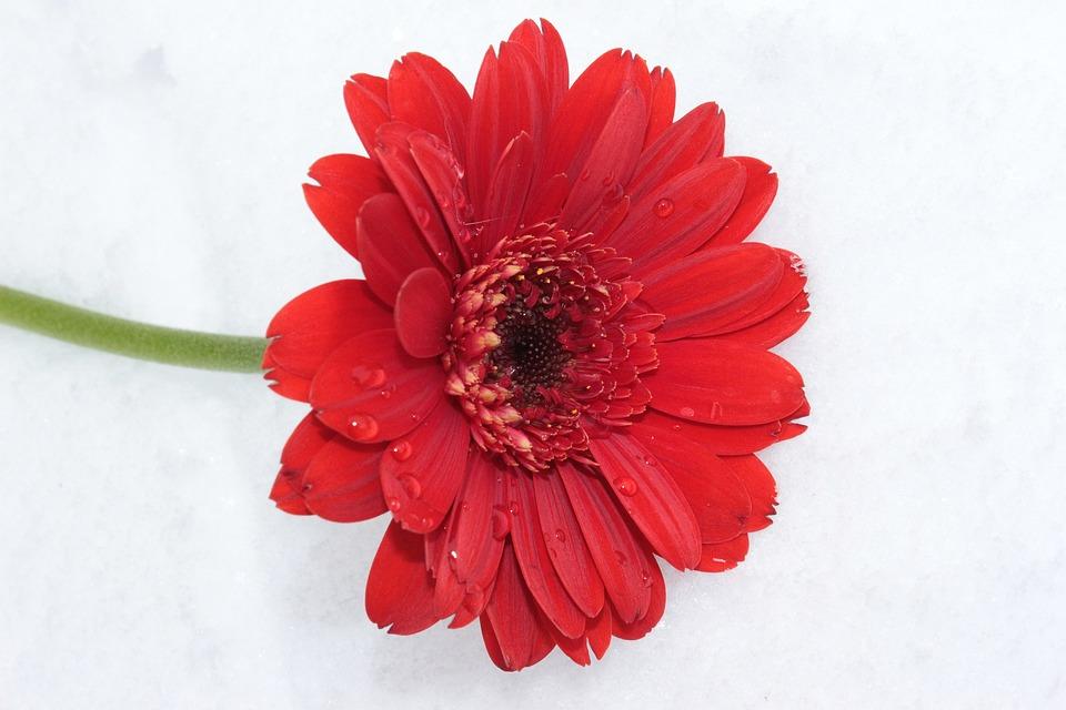 Gerbera, Red, Flower, Blossom, Bloom, Schnittblume