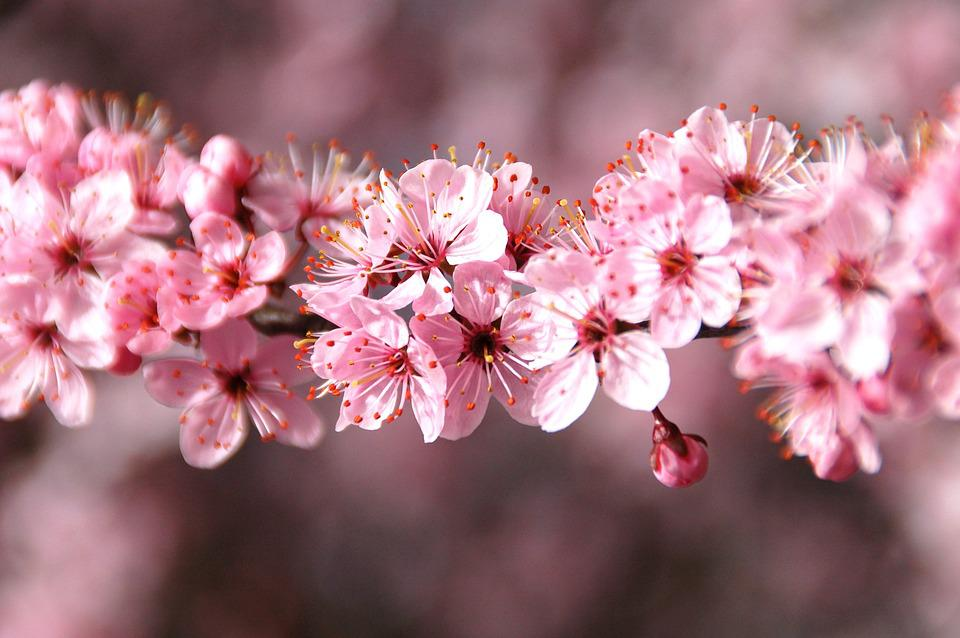 Plant, Nature, Branch, Cherry, Season, Blossom
