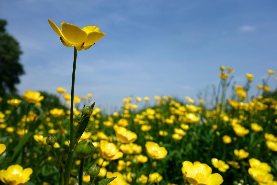 Buttercup, Blossom, Bloom, Yellow, Sharp Buttercup