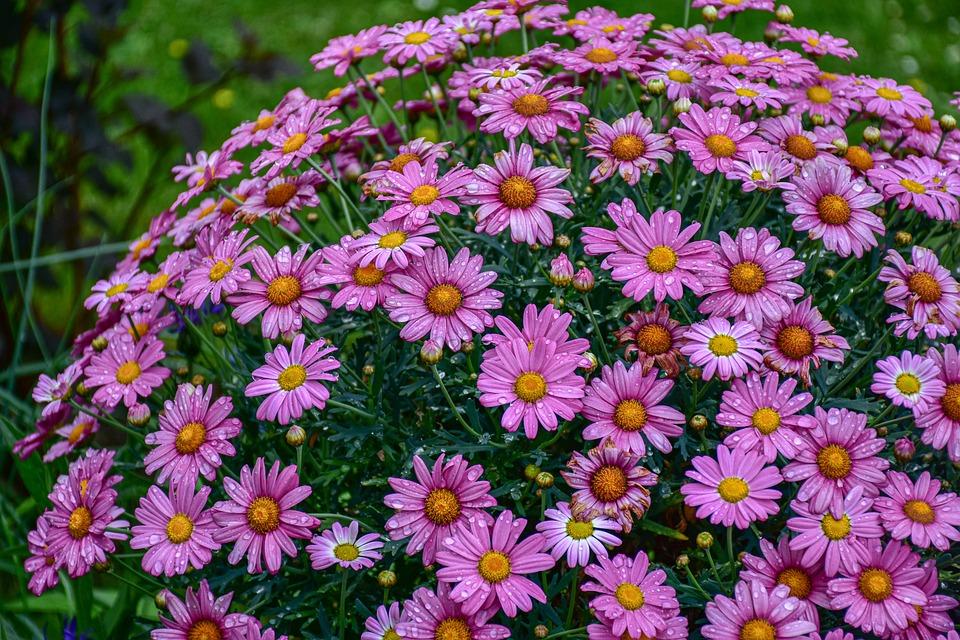 Flowers, Shrub, Daisies, Plants, Bloom, Flora, Blossom