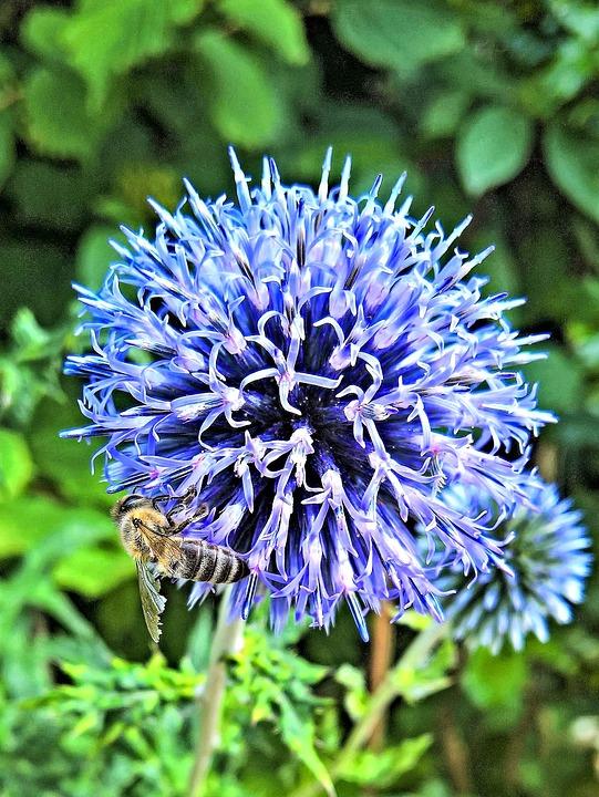 Plant, Silver Thistle, Blossom, Bloom, Silberblau