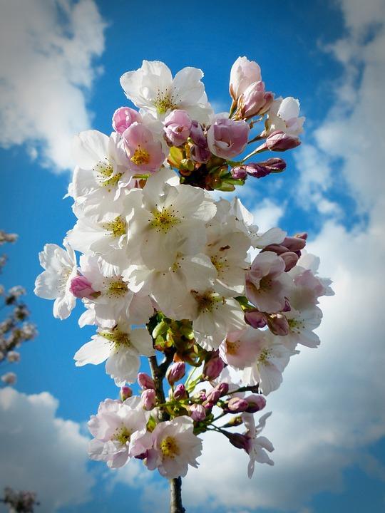 Column Cherry, Sky, Japanese Cherry Trees, Blossom