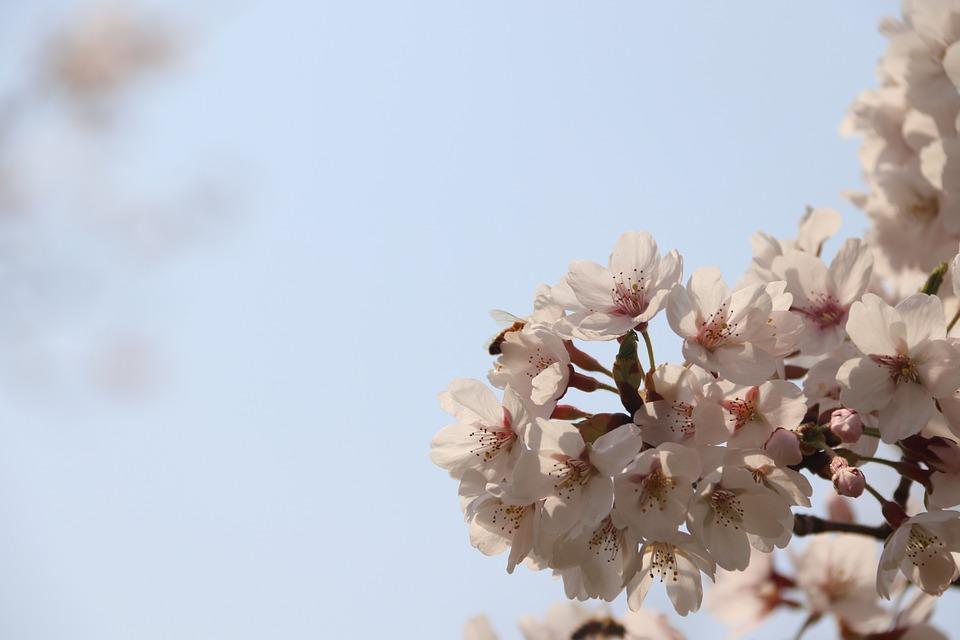 Cherry, Flowers, Spring, Blossom, Pink, Bloom, Tree