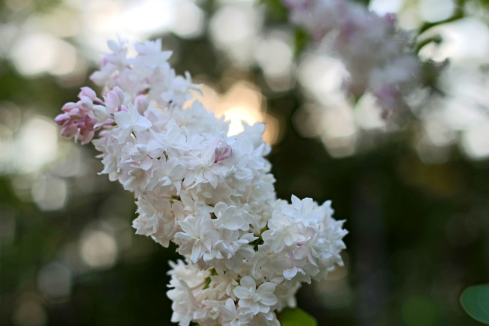 Lilac, Flower, Spring, Blossom, Nature, Bunch, Plant