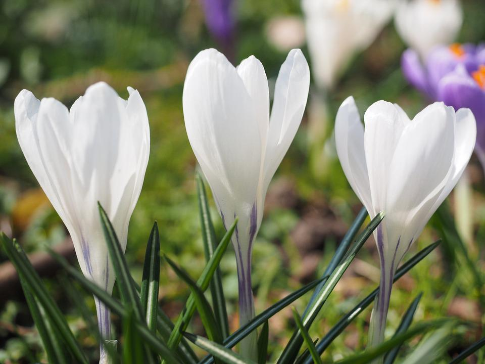 Free photo blossom spring colorful white flower bhen crocus max pixel crocus flower spring bhen white colorful blossom mightylinksfo