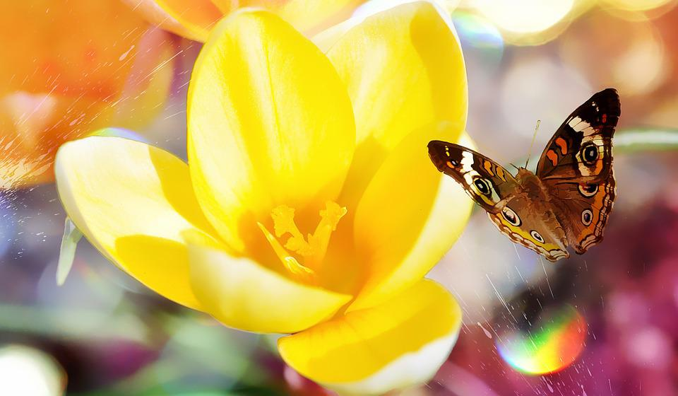 Crocus, Flower, Spring Flower, Blossom, Bloom, Yellow