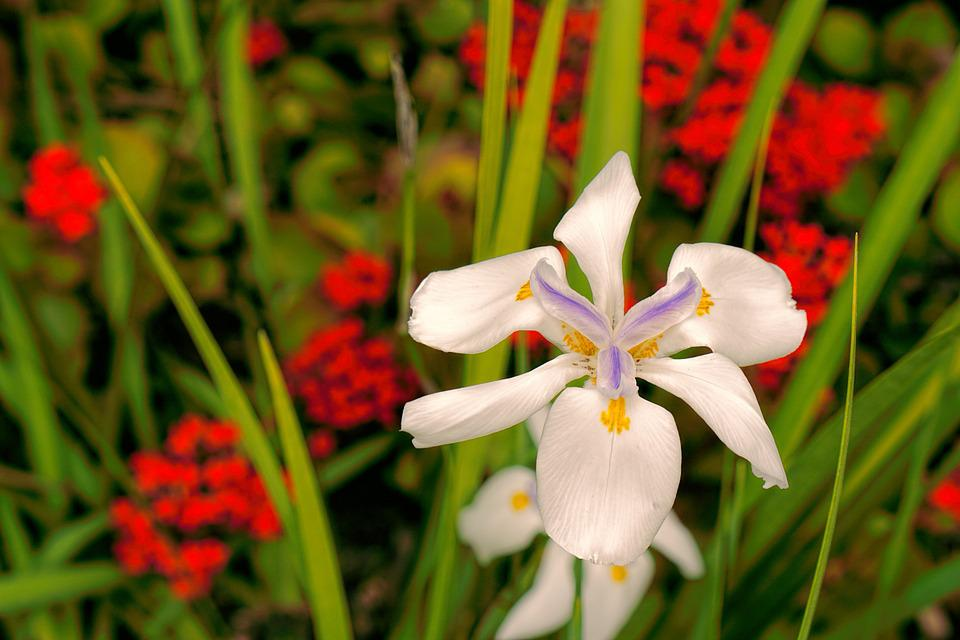 Free Photo Blossom Spring Flower Horizontal White Red Lily Max Pixel