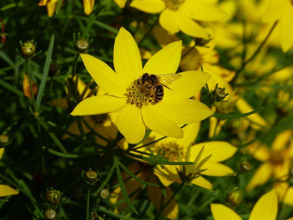Mädchenauge, Meadow, Yellow, Shrub, Spring, Blossom
