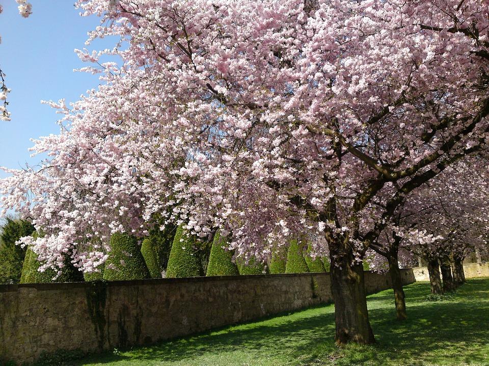 Schlossgarten, Cherry Blossom, Nature, Spring, Blossom