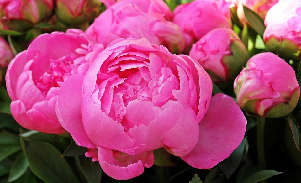 Peony, Flowers, Plant, Spring, Peony Bud, Blossom